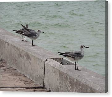 Seagulls In Progreso Canvas Print