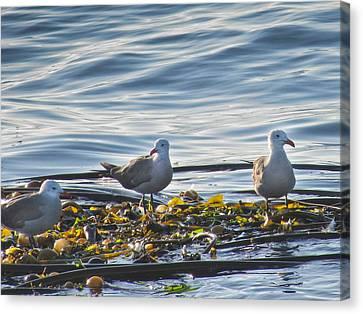 Seagulls In Victoria Bc Canvas Print