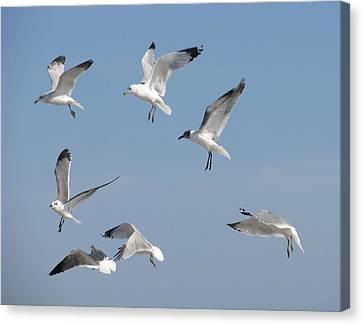 Seagulls See A Cracker Canvas Print