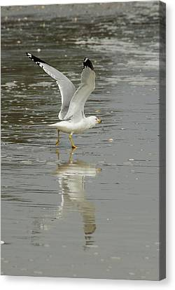 Seagulls Takeoff Canvas Print by Kathy Gibbons