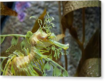 Canvas Print featuring the photograph Seahorse by Mike Lee