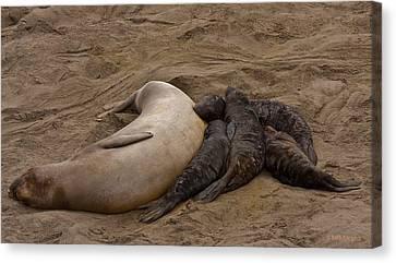 Seal And Pups Canvas Print