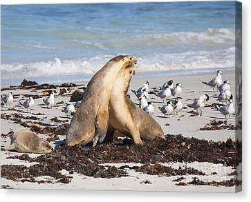 Marine Mammals Canvas Print - Seal Beach Battle by Mike Dawson
