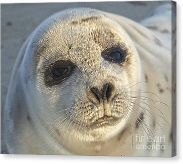 Seal Pup Canvas Print by Amazing Jules