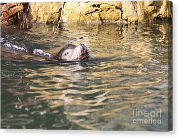 Sealion Coming Up For Air Canvas Print by John Telfer