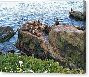 Seals And Pups Canvas Print by Bedros Awak