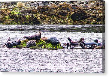 Seals Resting Canvas Print by Robert Bales