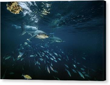 Searching For Seals, Two Great White Canvas Print