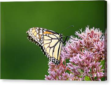 Searching Monarch Canvas Print by Neal Eslinger