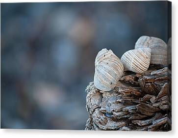 Seashells On Driftwood  Canvas Print by Brian Boudreau