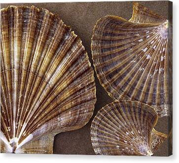Canvas Print featuring the photograph Seashells Spectacular No 7 by Ben and Raisa Gertsberg