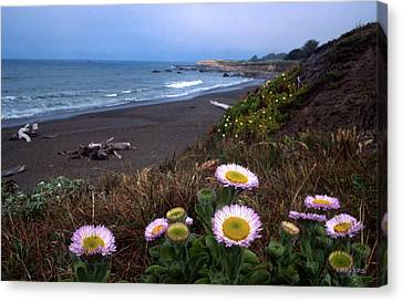 Seaside Daisies On Moonstone Beach Canvas Print by Kathy Yates