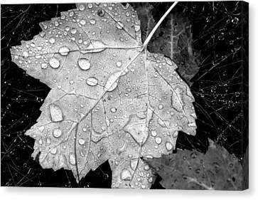 Fallen Leaf On Water Canvas Print - Seasonal Contrast by Karol Livote