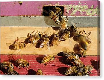 Seattle Honeybees At Entrance To Beehive Canvas Print by Matt Freedman