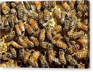 Seattle Honeybees In Beehive Canvas Print by Matt Freedman