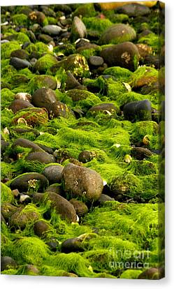 Seaweed And Rocks 2 Canvas Print
