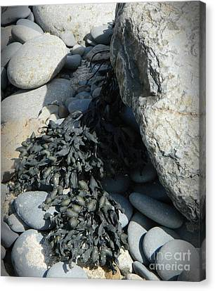 Seaweed And Rocks  Canvas Print