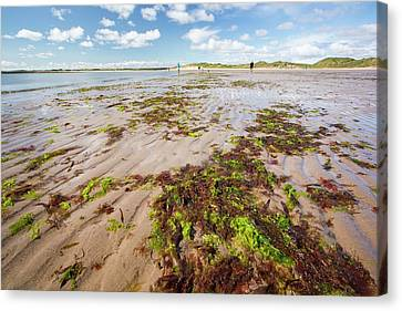 Seaweed And Sand Ripples Canvas Print by Ashley Cooper