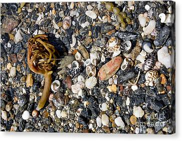 Seaweed And Shells Canvas Print by Steven Ralser