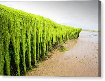 Sandy Beach Canvas Print - Seaweed Draped Over A Rock by Ashley Cooper