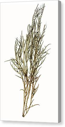 Seaweed (ectocarpus Confervoides) Canvas Print by Dr Keith Wheeler