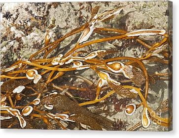 Seaweed Swirls Canvas Print by Artist and Photographer Laura Wrede