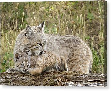 Baby Bobcat Canvas Print - Security by Elaine Haberland