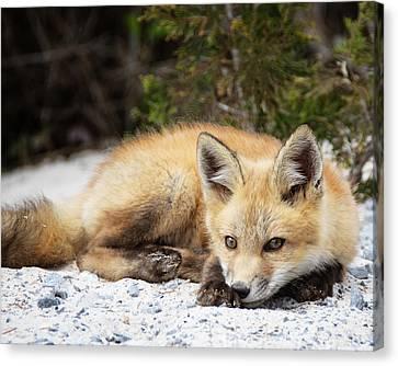 Fox Kit Canvas Print - Seductive by Vicki Jauron