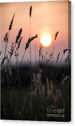 Seed Heads At Sunset Canvas Print by Jan Bickerton