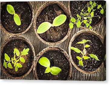 Nurture Canvas Print - Seedlings Growing In Peat Moss Pots by Elena Elisseeva