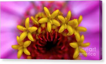 Seeing Stars - Zinnia Canvas Print by Henry Kowalski