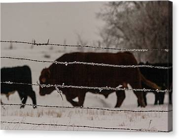 Seeking Shelter From The Cold Canvas Print by Shirley Heier