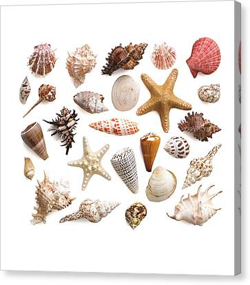 Selection Of Sea Shells And Star Fish Canvas Print by Science Photo Library