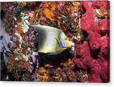 Semicircle Angelfish On A Reef Canvas Print by Georgette Douwma