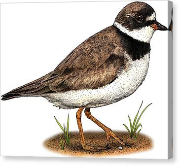 Semipalmated Plover Canvas Print by Roger Hall