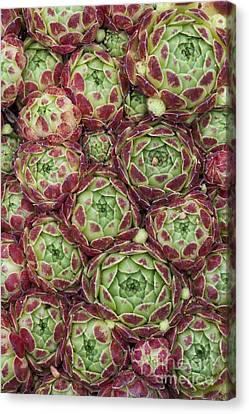 Sempervivum Atlanticum Pattern Canvas Print by Tim Gainey