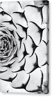 Succulent Canvas Print - Sempervivum Pattern Monochrome by Tim Gainey