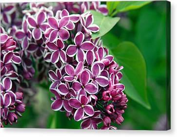 Sensation Lilac Canvas Print