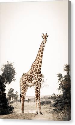 Sentinal Giraffe Canvas Print