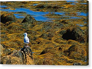 Canvas Print featuring the photograph Sentinel Seagull by Nancy De Flon