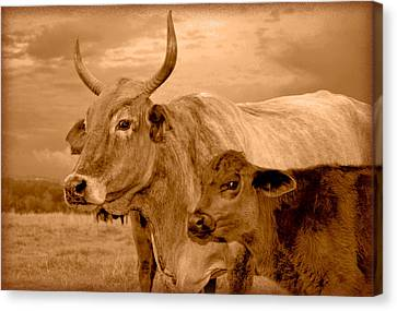 Canvas Print featuring the photograph Sepia Cows 4 by Amanda Vouglas