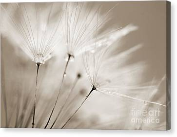 Sepia Dandelion Clock And Water Droplets Canvas Print by Natalie Kinnear