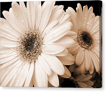 Water Drops Canvas Print - Sepia Gerber Daisy Flowers by Jennie Marie Schell