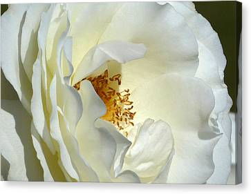 Canvas Print featuring the photograph September Mourn Rose by Cindy McDaniel