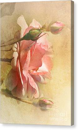 September Rose Canvas Print by Elaine Manley