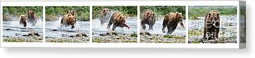 Sequence Of Large Brown Stealing Salmon From Smaller Brown Bear Canvas Print by Dan Friend