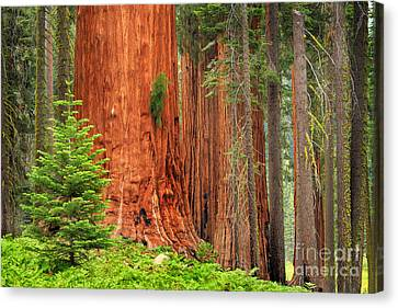 Weathered Canvas Print - Sequoias by Inge Johnsson