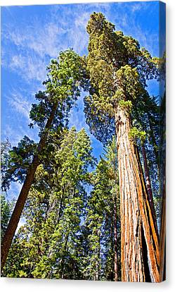 Sequoias Reaching To The Clouds In Mariposa Grove In Yosemite National Park-california Canvas Print by Ruth Hager