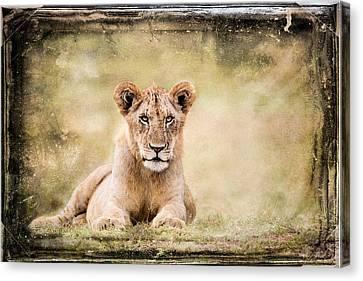 Serene Lioness Canvas Print by Mike Gaudaur