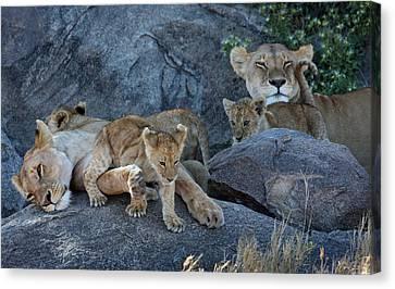 Serengeti Pride Canvas Print by David Beebe